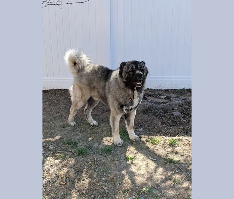 Photo of Crom, a Caucasian Ovcharka  in USA