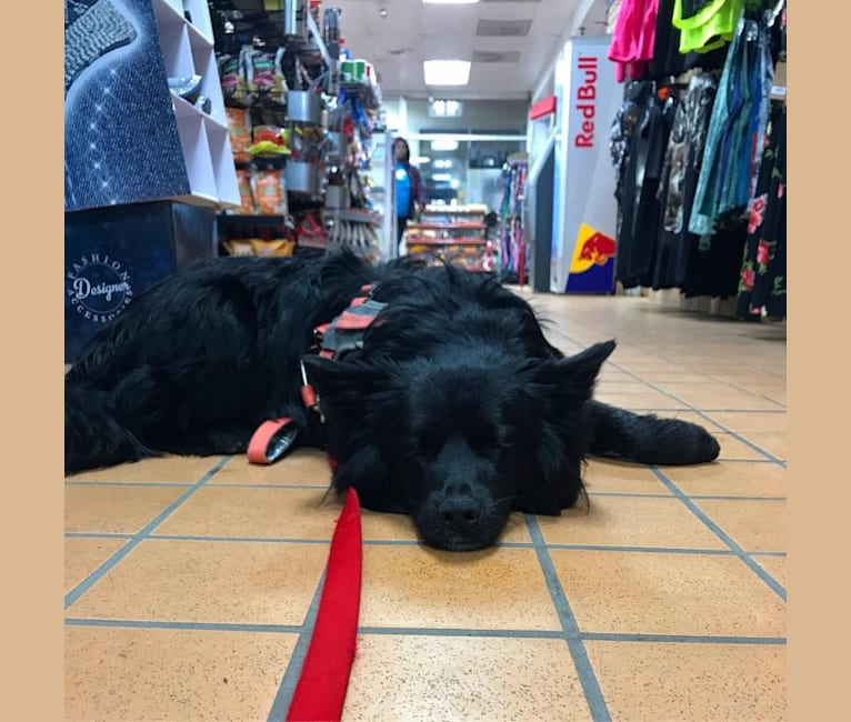 Photo of Rosco, an Australian Cattle Dog, Australian Shepherd, Border Collie, Rottweiler, and Mixed mix in Kansas, USA