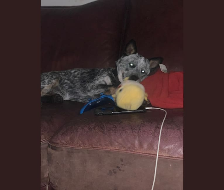 Photo of Chomp, an Australian Cattle Dog  in Meridian, TX, USA