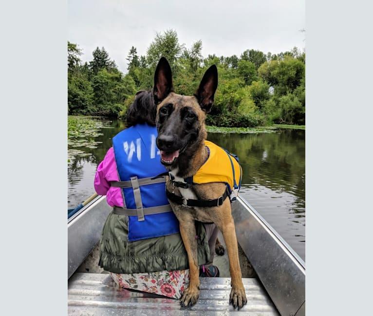 Photo of Mel, a Belgian Shepherd  in SeaTac, Washington, USA
