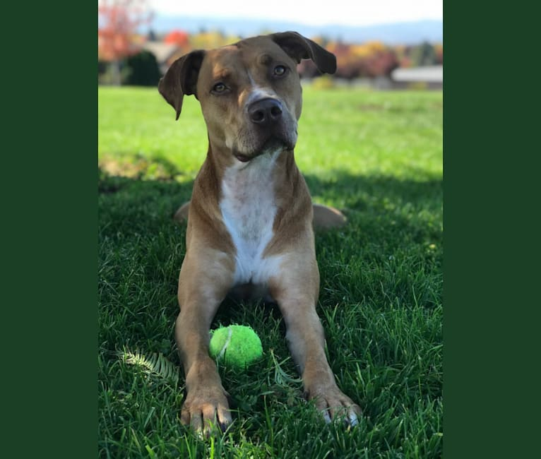 Photo of Chance Kahekili, an American Pit Bull Terrier, American Staffordshire Terrier, and Labrador Retriever mix in Medford, Oregon, USA