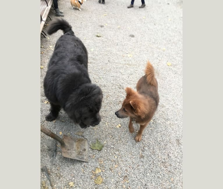Photo of Rex, a Chow Chow, Rottweiler, American Pit Bull Terrier, and Mixed mix in New York, New York, USA
