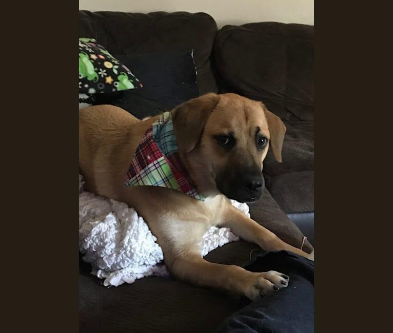 Photo of Burkin, a Labrador Retriever, Boxer, Chow Chow, Golden Retriever, Dachshund, and Pug mix in Moorhead, MN, USA