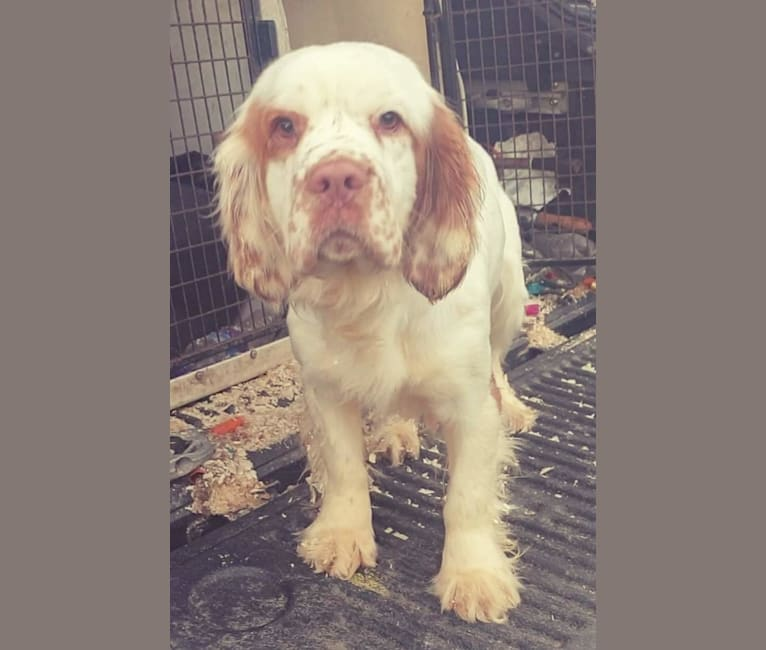 Photo of Betty, a Clumber Spaniel  in Durham, UK