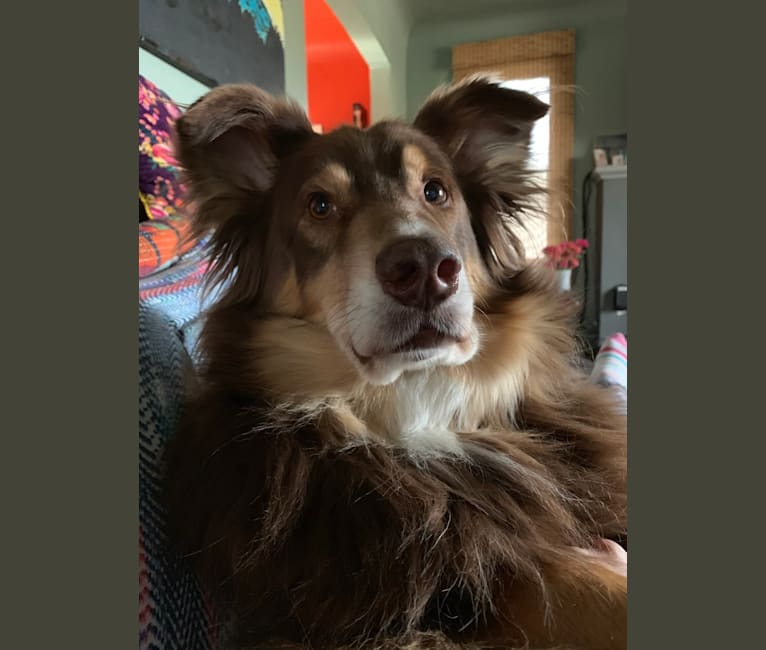 Photo of Rosie O'Doggell, an Australian Shepherd and German Shepherd Dog mix in Seattle, Washington, USA
