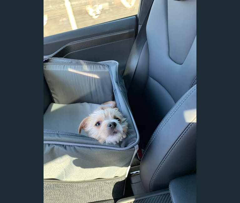 Photo of Latte, a Poodle (Small), Shih Tzu, Russell-type Terrier, Yorkshire Terrier, Miniature Pinscher, and Pug mix in California, USA