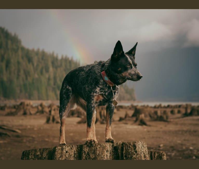 Photo of Neptune, an Australian Cattle Dog  in Mt Vernon, Washington, USA