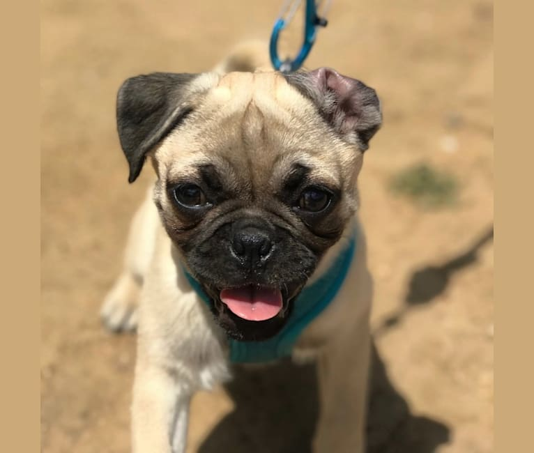 Photo of Comet, a Pug and Pekingese mix in Costa Mesa, California, USA
