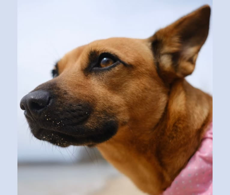 Photo of Gator, an American Pit Bull Terrier, Russell-type Terrier, Labrador Retriever, Chihuahua, Chow Chow, and Mixed mix