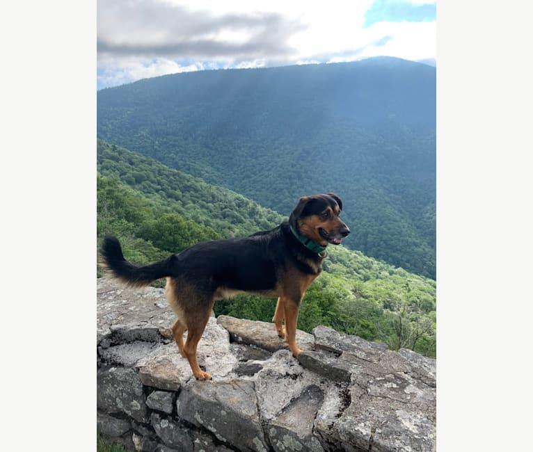 Photo of Scout, a Miniature/MAS-type Australian Shepherd, American Foxhound, Treeing Walker Coonhound, and Australian Shepherd mix in Columbia, South Carolina, USA