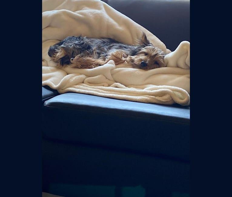 Photo of Bentley, a Chorkie  in Menomonie, Wisconsin, USA