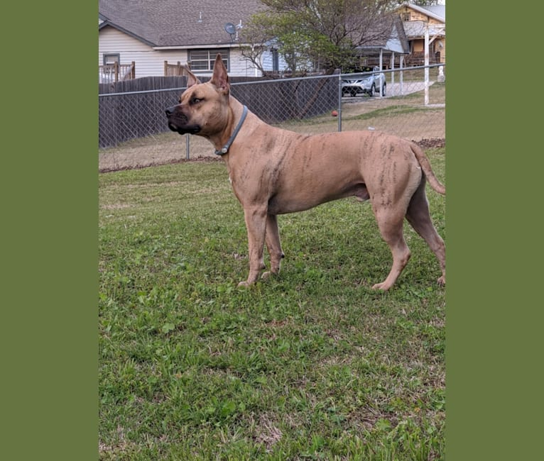 Photo of Crixus, an American Pit Bull Terrier and American Staffordshire Terrier mix in Tulsa, OK, USA