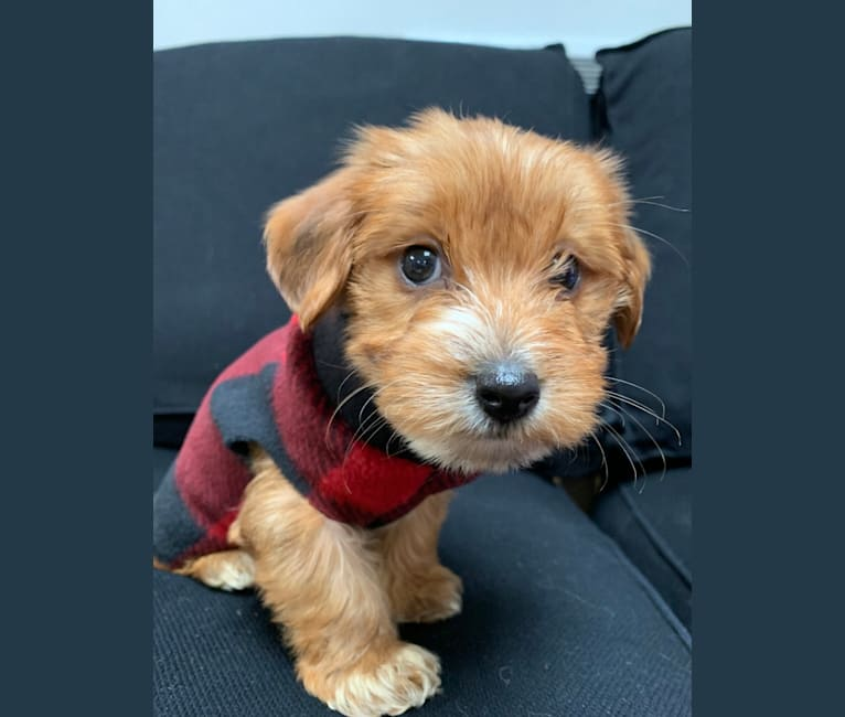 Photo of Winslow, a Yorkshire Terrier, Dachshund, Maltese, and Shih Tzu mix in Traverse City, MI, USA