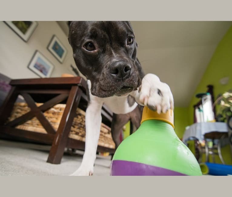 Photo of Rita, an American Bully and American Pit Bull Terrier mix in Seattle, Washington, USA