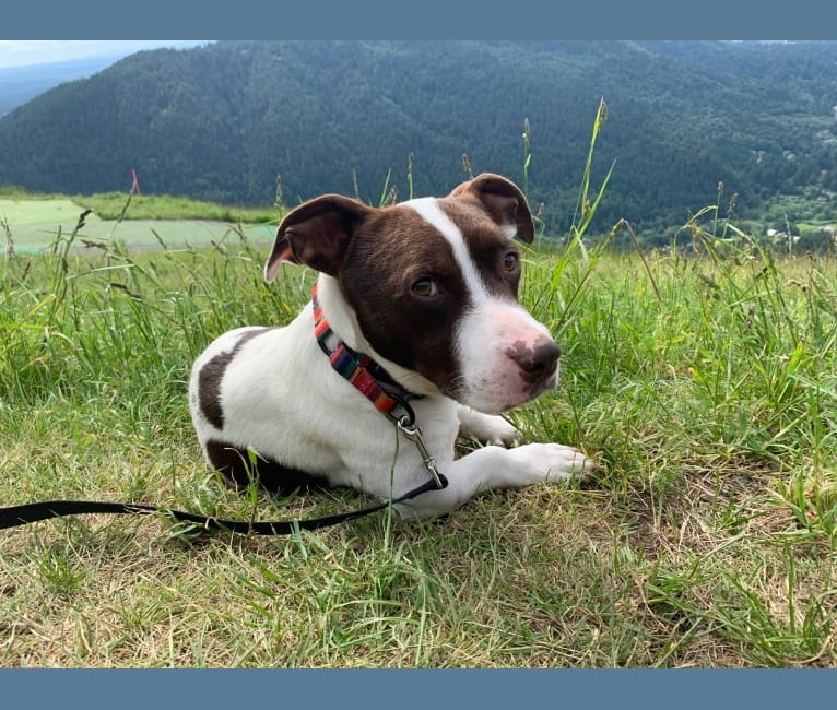 Photo of Shorty, an Australian Cattle Dog and American Pit Bull Terrier mix in Seattle, Washington, USA