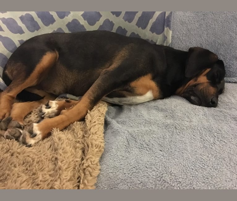 Photo of Lady Lexie, a Bloodhound, Treeing Walker Coonhound, Labrador Retriever, and Mixed mix in Cleveland, Texas, USA