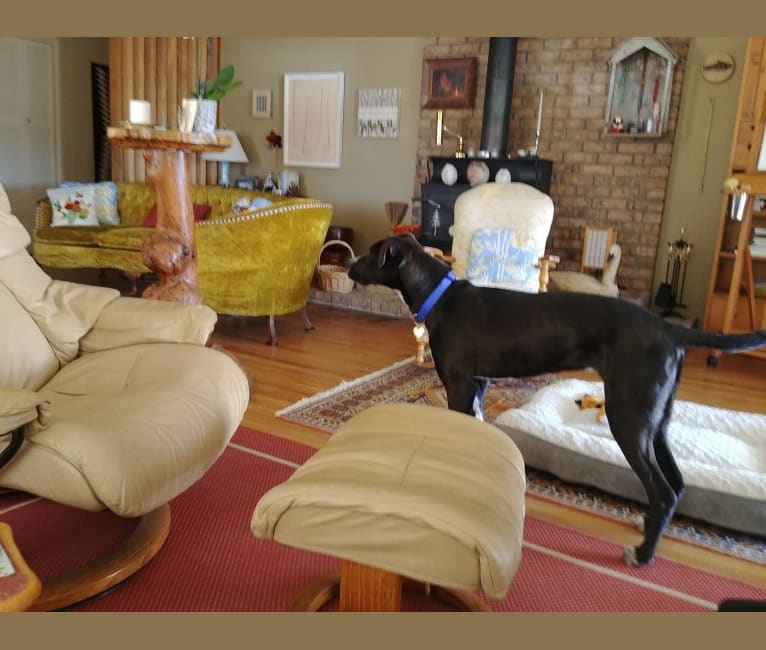 Photo of Buddy, an American Pit Bull Terrier, American Bulldog, German Shepherd Dog, American Staffordshire Terrier, and Australian Cattle Dog mix in El Paso, Texas, USA
