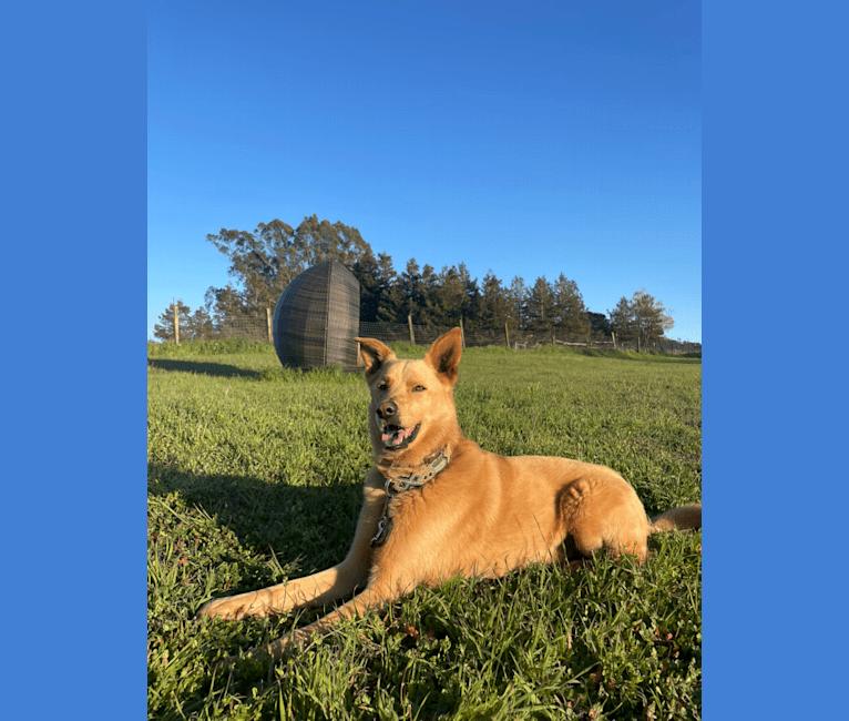 Photo of Goose, a German Shepherd Dog, Siberian Husky, and Mixed mix in Fresno, California, USA