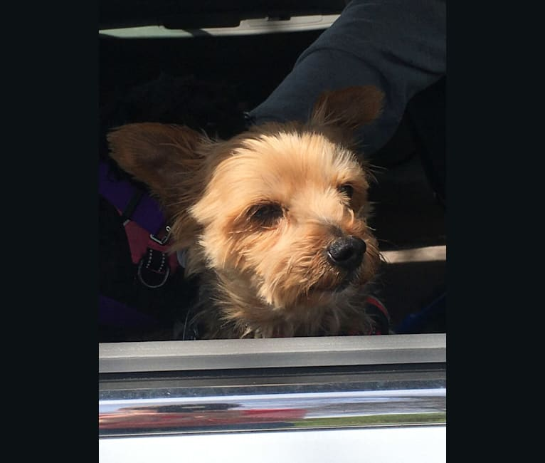 Photo of Ralphie, a Yorkshire Terrier