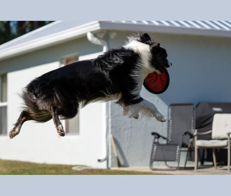 Photo of Boomer, an Australian Shepherd Group  in Palm Bay, Florida, USA