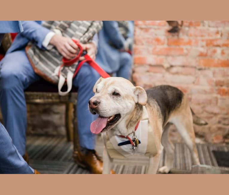 Photo of Chance, an American Pit Bull Terrier, Chinese Shar-Pei, and Cocker Spaniel mix in Boston, Massachusetts, USA