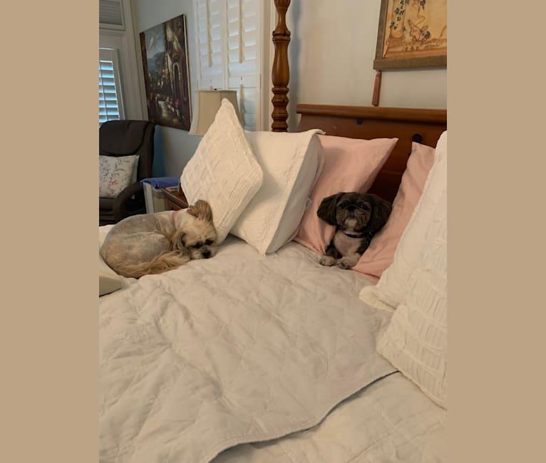 Photo of Louie, a Pekingese and Shih Tzu mix in Peachtree City, Georgia, USA