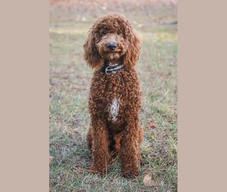 Photo of Rowdy, a Poodle  in Tulsa, Oklahoma, USA
