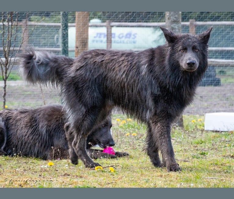 Photo of VERGIL, a German Shepherd Dog  in Lochem, Netherlands