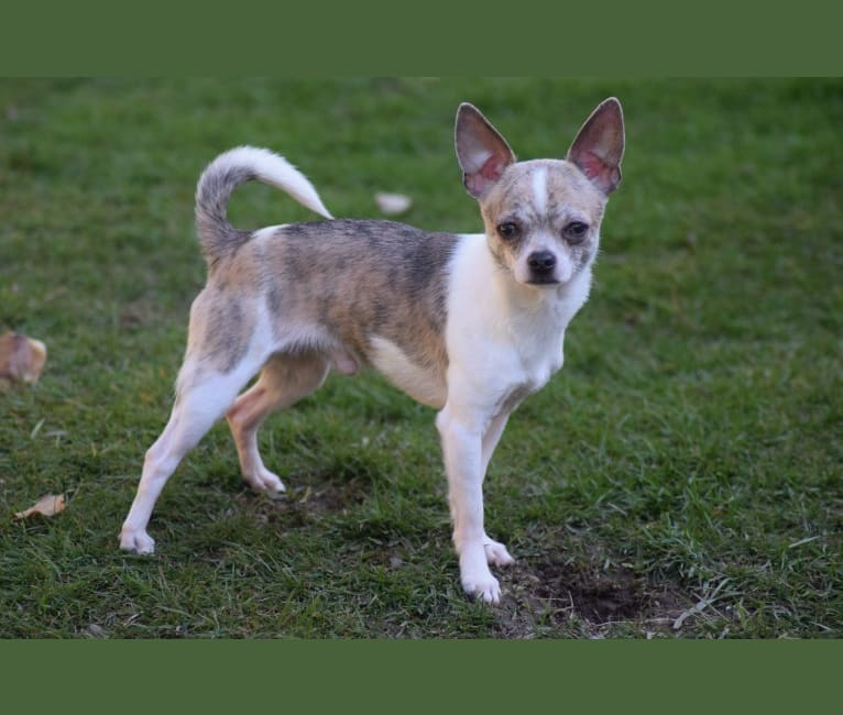 Photo of King, a Chihuahua  in Anderson, SC, USA