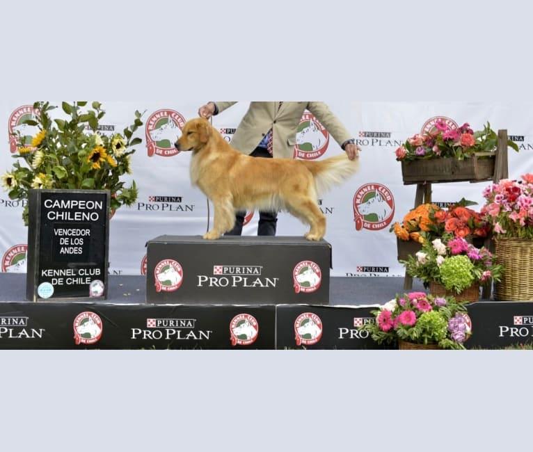 Photo of LIBERTY HENNA LISKA, a Golden Retriever  in Argentina