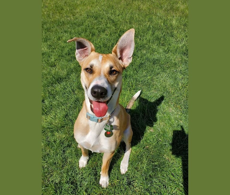 Photo of Lucy, a Great Dane, American Pit Bull Terrier, Australian Cattle Dog, German Shepherd Dog, Chow Chow, Labrador Retriever, and Mixed mix in Texas, USA