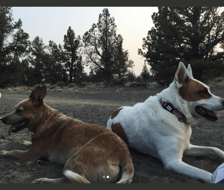 Photo of Kitsune, an American Pit Bull Terrier, German Shepherd Dog, Chow Chow, and Golden Retriever mix