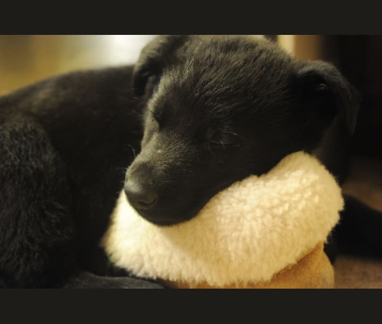 Photo of Argo Von Reichenberg, a German Shepherd Dog  in Ohio, USA