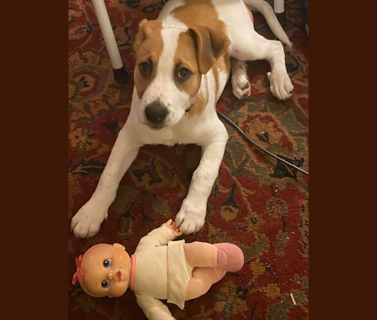 Photo of Louis Louie Branch, an American Pit Bull Terrier and German Shepherd Dog mix in West Virginia, USA