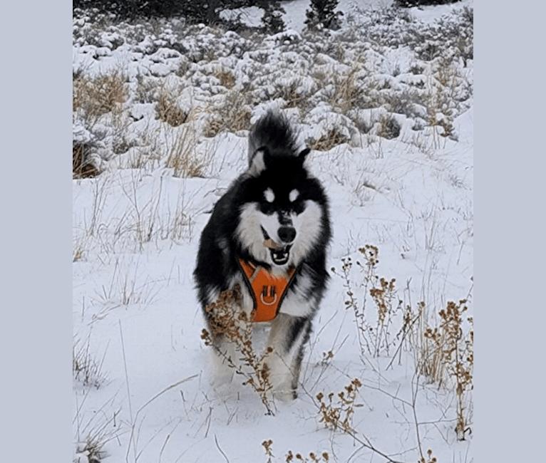 Photo of Kalu, an Alaskan Malamute  in Long Island, New York, NY, USA
