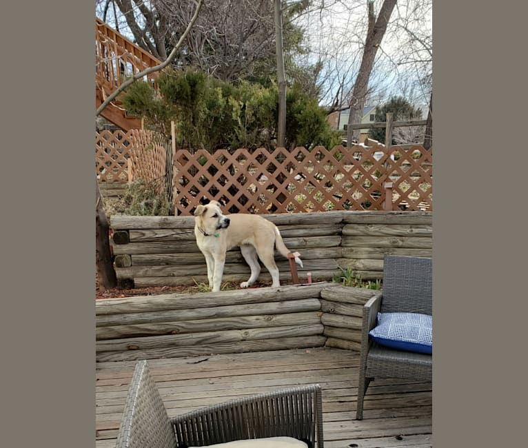"Photo of Wyatt ""Murderbot"" Wolf-Hauser, a Great Pyrenees and Anatolian Shepherd Dog mix in Oklahoma, USA"
