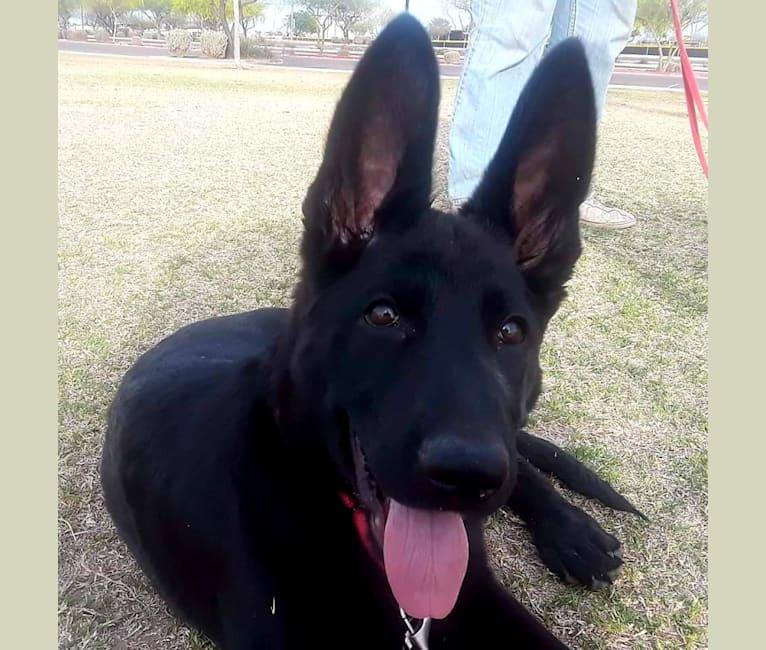 Photo of Ruby, a German Shepherd Dog  in Arizona, USA