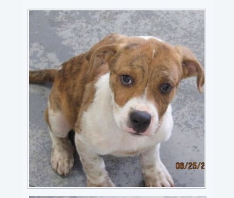 Photo of Toby, an American Pit Bull Terrier, Boxer, Great Pyrenees, and Rottweiler mix in Kentucky, USA