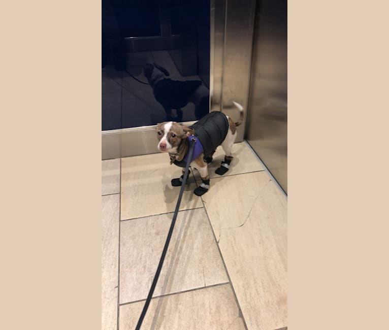 Photo of Jenny, a Chihuahua, Pomeranian, and Poodle (Small) mix in Visalia, California, USA
