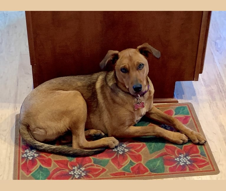 Photo of Sasha, an Australian Cattle Dog, German Shepherd Dog, Collie, Dalmatian, and Mixed mix in New Mexico, USA