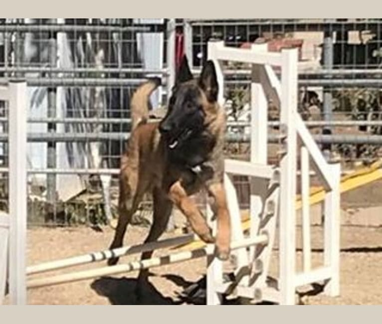 Photo of Carousel's Eclipsed by a Photon, a Belgian Shepherd  in Santa Clarita, California, USA