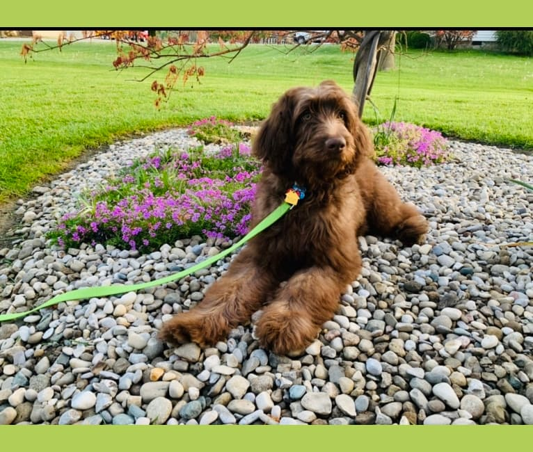 Photo of Finn, a Poodle (Standard), Australian Shepherd, and Border Collie mix in Corbin, KY, USA