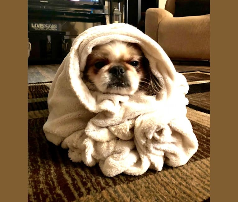 Photo of Baxter, a Pekingese and Mixed mix in Orland Park, Illinois, USA