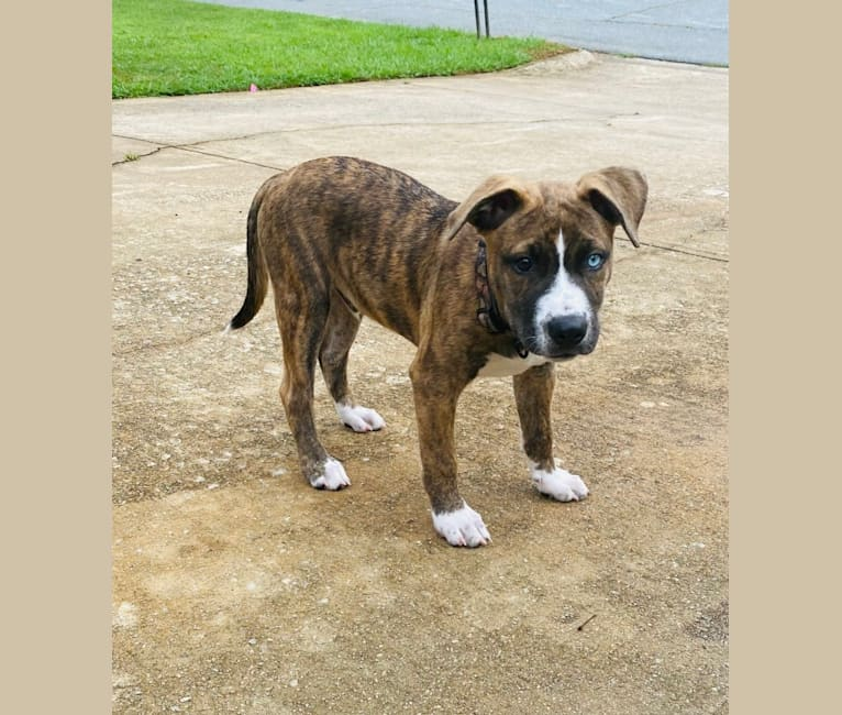 Photo of Jax, an American Pit Bull Terrier, Siberian Husky, and Mixed mix in Cairo, GA, USA