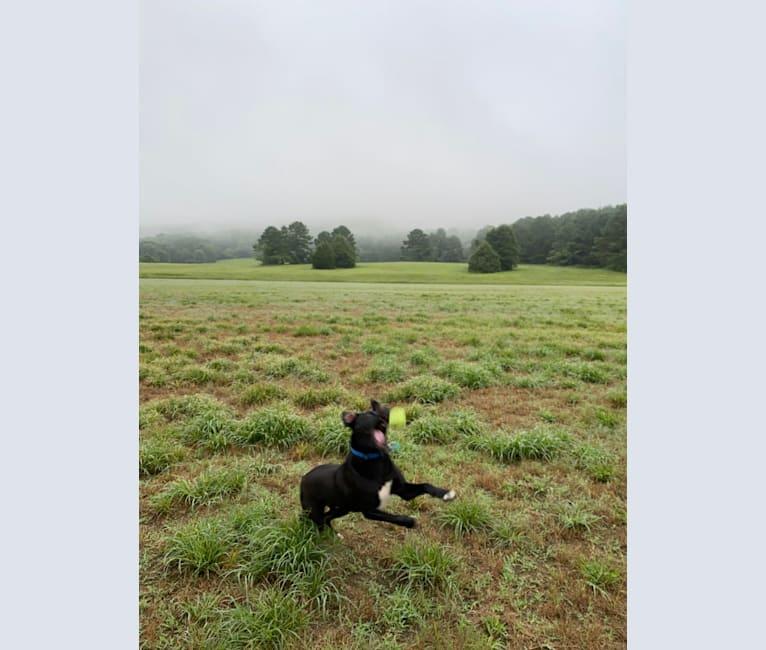 Photo of Ribsy, a Border Collie, American Staffordshire Terrier, Australian Shepherd, Shiba Inu, and Mixed mix in Huntsville, Alabama, USA