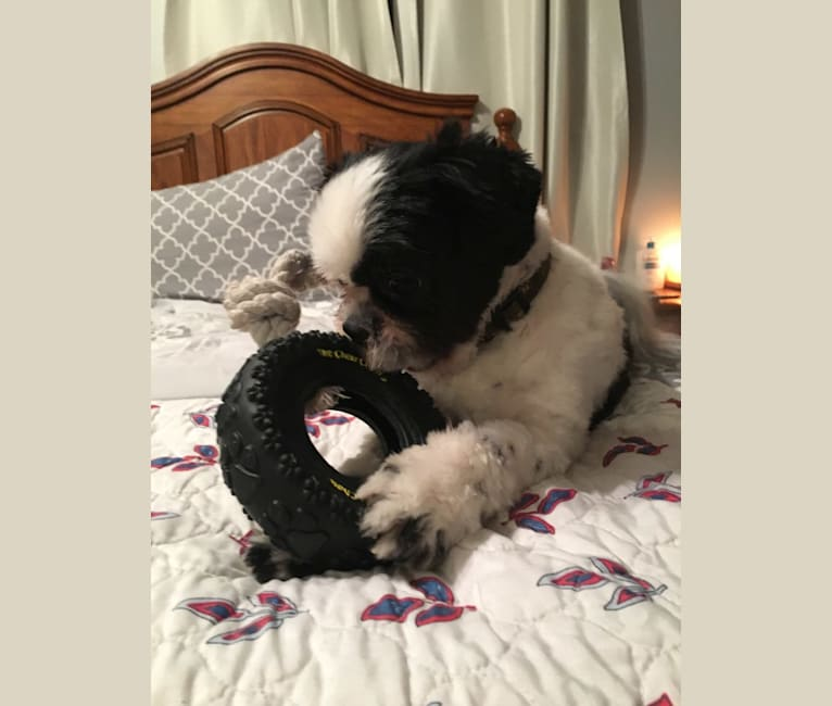 Photo of McGregor, a Shih Tzu  in Lumby, British Columbia, Canada