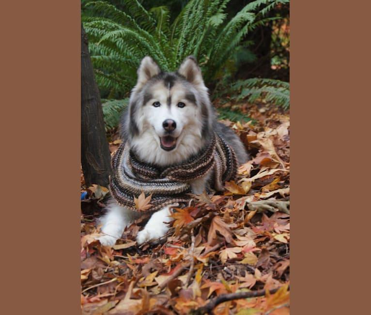 Photo of Sterling, a Siberian Husky  in Rosenberg, Texas, USA