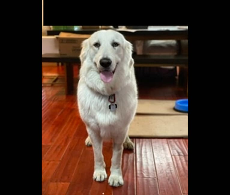 Photo of Falkor, a Great Pyrenees, Great Dane, and Mixed mix in Saratoga, California, USA