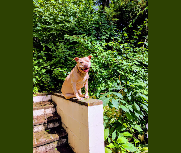 Photo of Sweetie, an American Pit Bull Terrier
