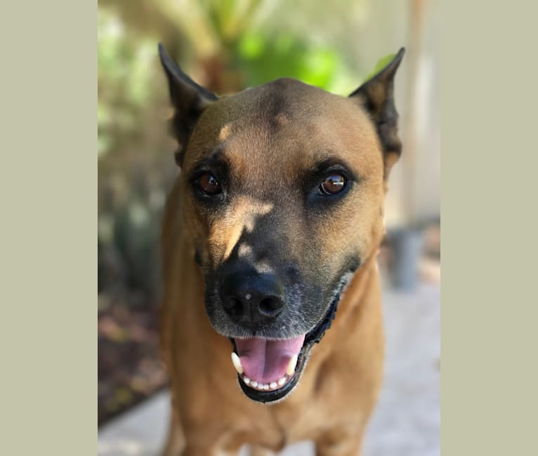Photo of Oscar, a German Shepherd Dog, American Pit Bull Terrier, and Chow Chow mix in Tucson, Arizona, USA